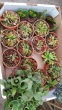 The fascinating carnivore plants for sale