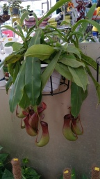 The fascinating carnivore plant for sale